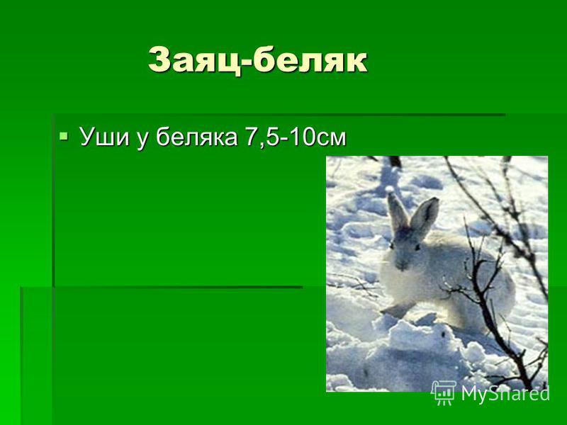 Заяц-беляк Уши у беляка 7,5-10 см Уши у беляка 7,5-10 см