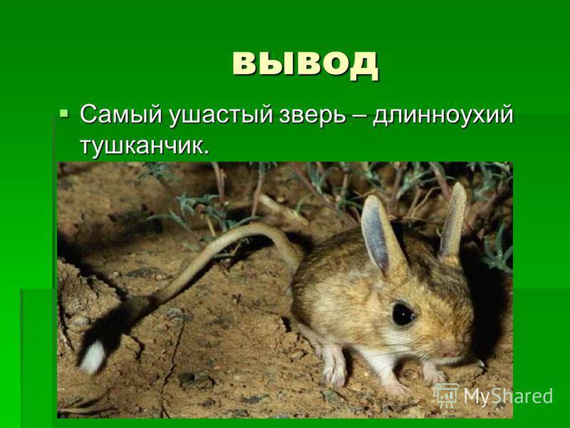 вывод вывод Самый ушастый зверь – длинноухий тушканчик. Самый ушастый зверь – длинноухий тушканчик.