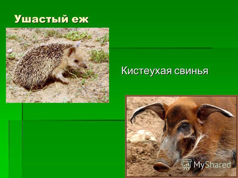 Ушастый еж Кистеухая свинья Кистеухая свинья