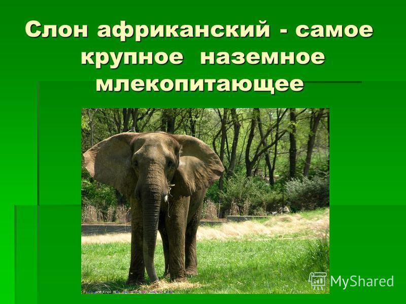Слон африканский - самое крупное наземное млекопитающее