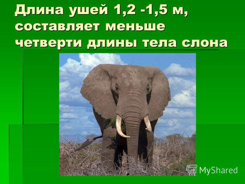 Длина ушей 1,2 -1,5 м, составляет меньше четверти длины тела слона