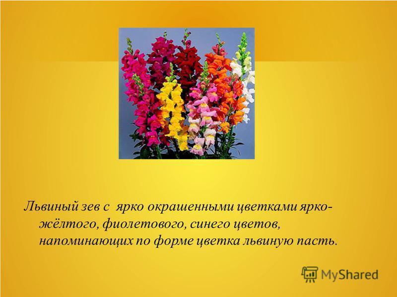 Львиный зев с ярко окрашенными цветками ярко- жёлтого, фиолетового, синего цветов, напоминающих по форме цветка львиную пасть.