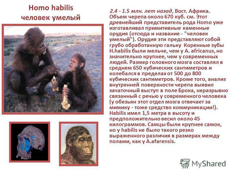 Homo habilis человек умелый 2.4 - 1.5 млн. лет назад, Вост. Африка. Объем черепа около 670 куб. см. Этот древнейший представитель рода Homo уже изготавливал примитивные каменные орудия (отсюда и название -