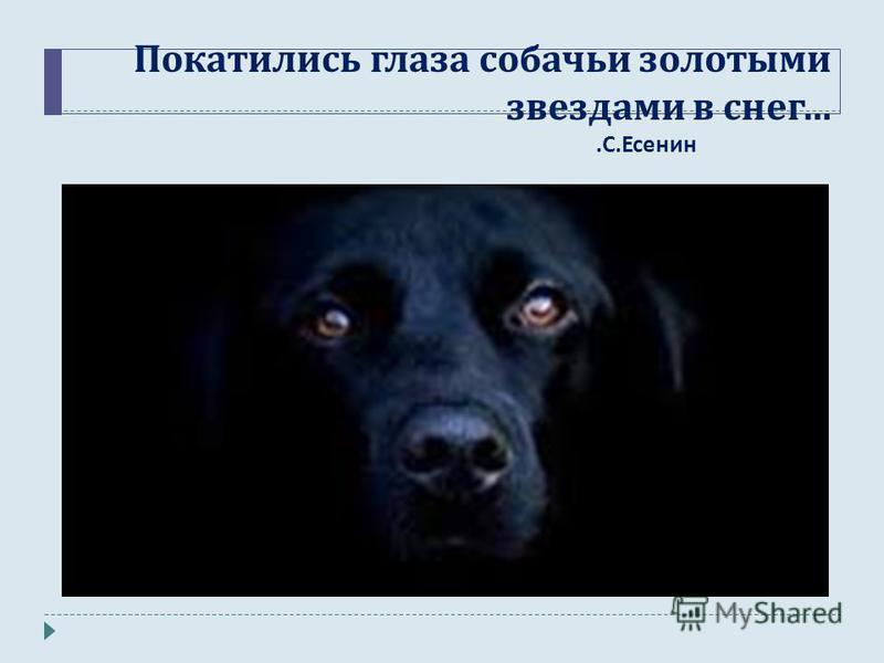 Покатились глаза собачьи золотыми звездами в снег …. С. Есенин