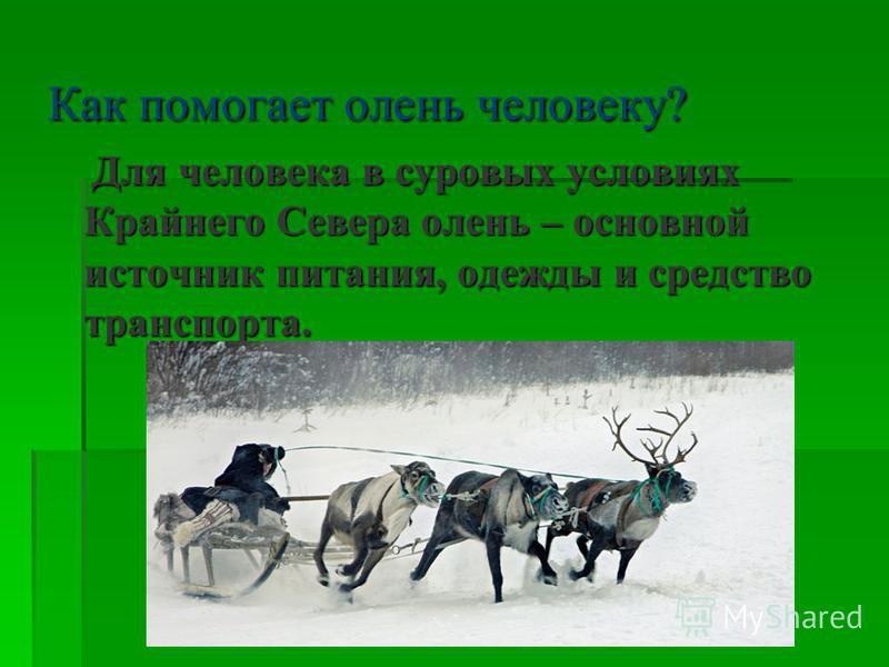 Как помогает олень человеку? Для человека в суровых условиях Крайнего Севера олень – основной источник питания, одежды и средство транспорта. Для человека в суровых условиях Крайнего Севера олень – основной источник питания, одежды и средство транспо