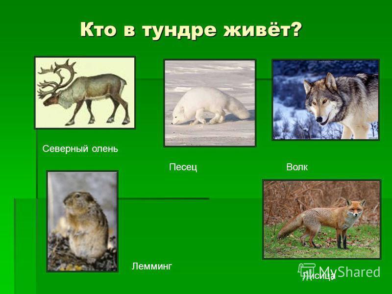 Кто в тундре живёт? Северный олень Песец Волк Лемминг Лисица