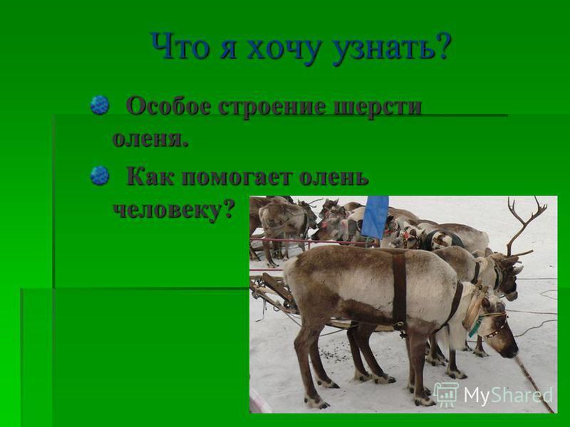 Что я хочу узнать? Особое строение шерсти оленя. Особое строение шерсти оленя. Как помогает олень человеку? Как помогает олень человеку?