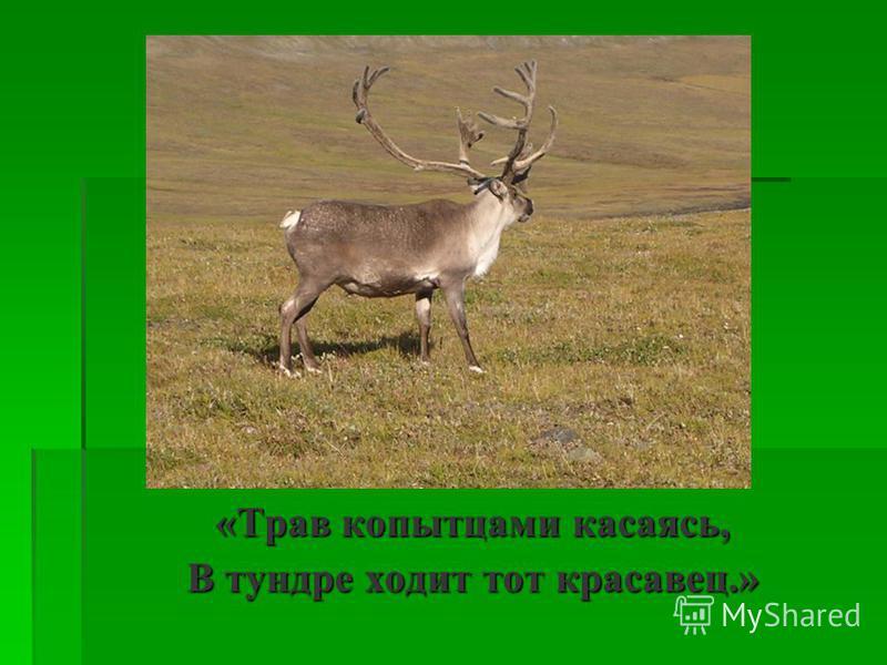 «Трав копытцами касаясь, В тундре ходит тот красавец.»