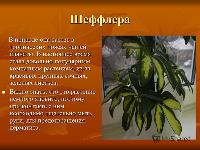 Шеффлера В природе она растет в тропических поясах нашей планеты. В настоящее время стала довольно популярным комнатным растением, из-за красивых крупных сочных, зеленых листьев. В природе она растет в тропических поясах нашей планеты. В настоящее вр