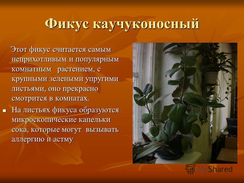 Фикус каучуконосный Этот фикус считается самым неприхотливым и популярным комнатным растением, с крупными зелеными упругими листьями, оно прекрасно смотрится в комнатах. Этот фикус считается самым неприхотливым и популярным комнатным растением, с кру