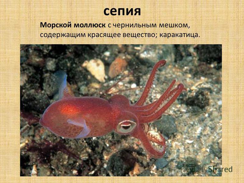 Морской моллюск с чернильным мешком, содержащим красящее вещество; каракатица. сепия
