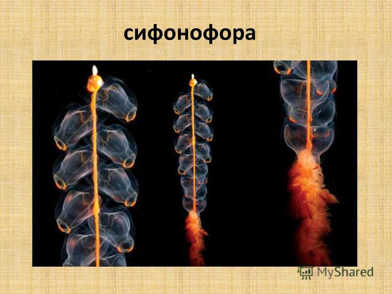 сифонофора
