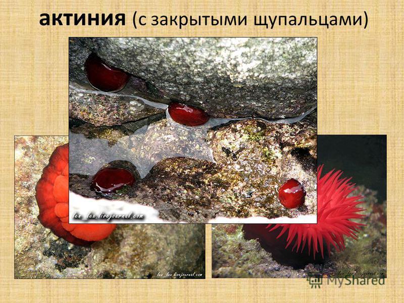 актиния актиния (с закрытыми щупальцами)