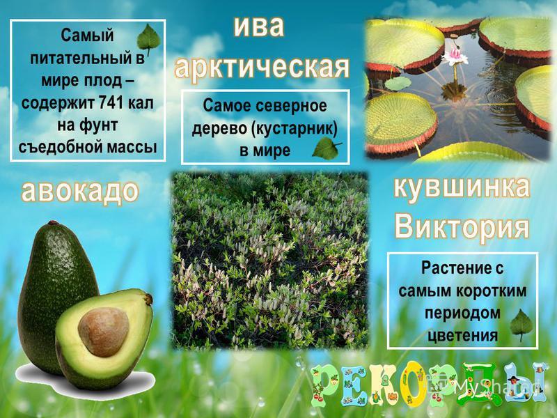 Самое северное дерево (кустарник) в мире Самый питательный в мире плод – содержит 741 кал на фунт съедобной массы Растение с самым коротким периодом цветения