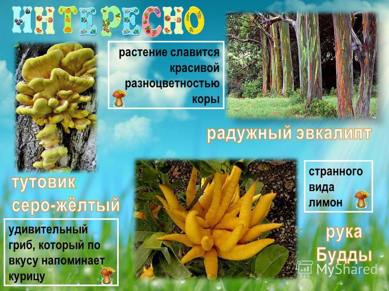 удивительный гриб, который по вкусу напоминает курицу растение славится красивой разноцветностью коры странного вида лимон