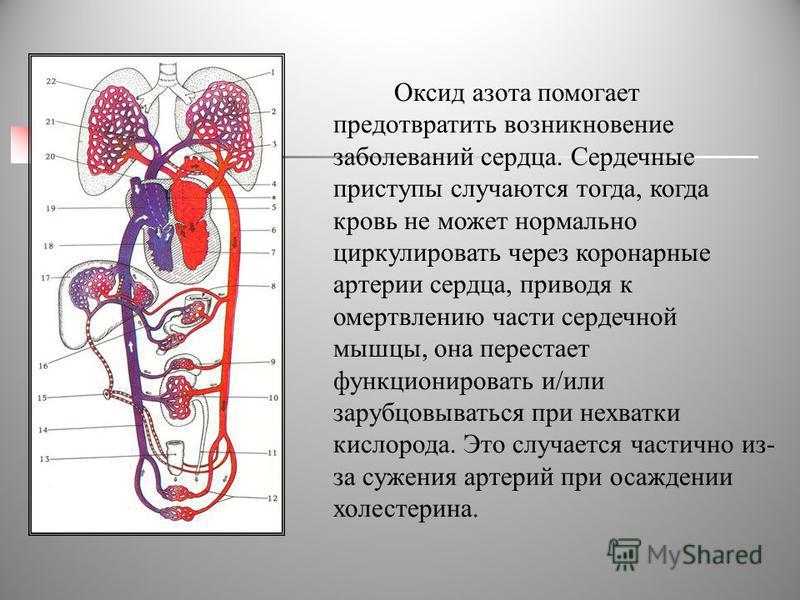 Оксид азота помогает предотвратить возникновение заболеваний сердца. Сердечные приступы случаются тогда, когда кровь не может нормально циркулировать через коронарные артерии сердца, приводя к омертвлению части сердечной мышцы, она перестает функцион
