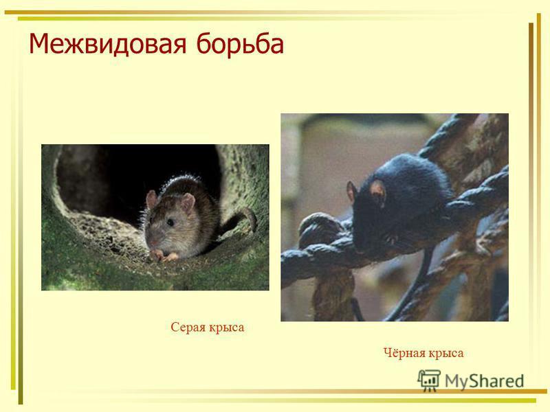 Межвидовая борьба Серая крыса Чёрная крыса
