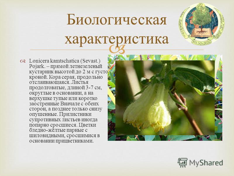 Биологическая характеристика Lonicera kamtschatica (Sevast.) Pojark. – прямой летнезеленый кустарник высотой до 2 м с густой кроной. Кора серая, продольно отслаивающаяся. Листья продолговатые, длиной 3-7 см, округлые в основании, а на верхушке тупые