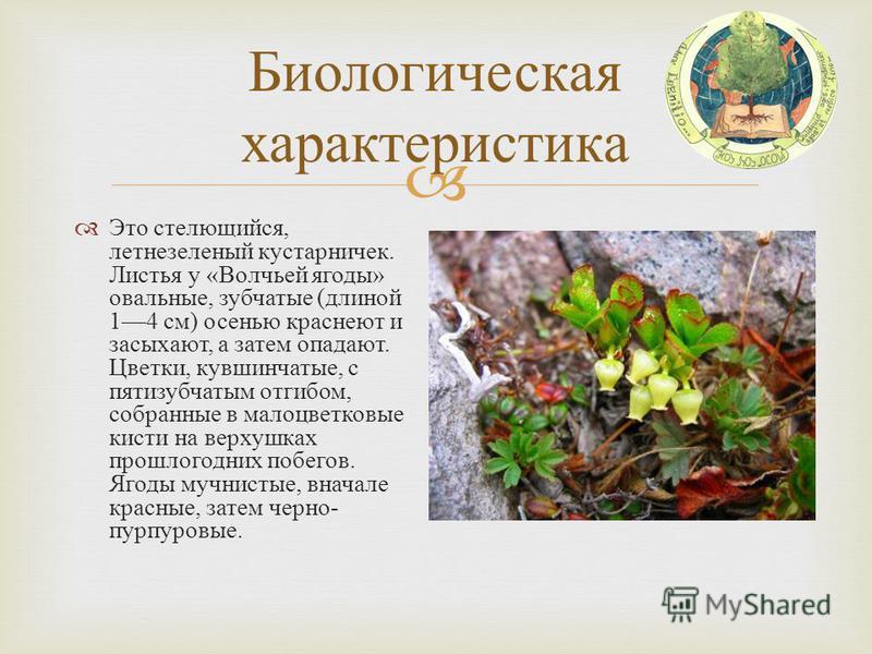 Биологическая характеристика Это стелющийся, летнезеленый кустарничек. Листья у « Волчьей ягоды » овальные, зубчатые ( длиной 14 см ) осенью краснеют и засыхают, а затем опадают. Цветки, кувшинчатые, с пятизубчатым отгибом, собранные в малоцветковые