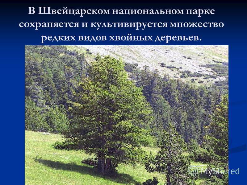 В Швейцарском национальном парке сохраняется и культивируется множество редких видов хвойных деревьев.