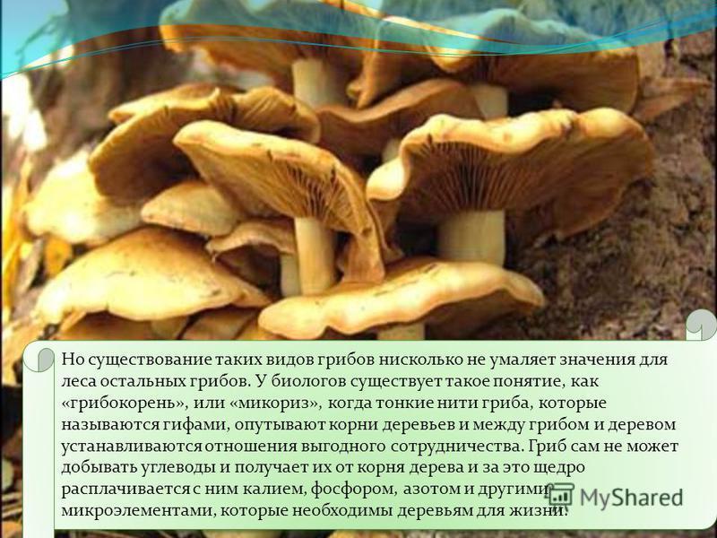 Так называемые шляпочные грибы -это только малая часть необъятного грибного царства, большая часть которого представлена в природе микроскопическими формами. Среди них есть полезные для леса грибковые образования и очень вредные. Шляпочные грибы в бо