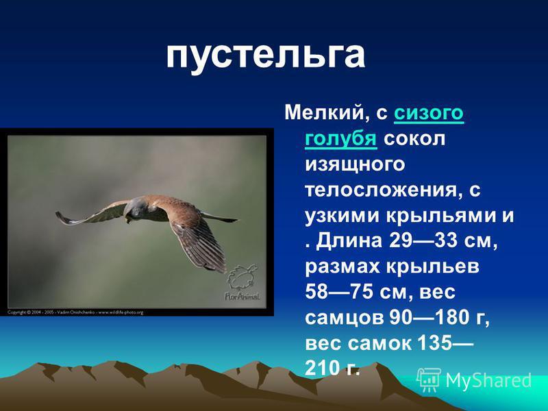 Мелкий, с сизого голубя сокол изящного телосложения, с узкими крыльями и. Длина 2933 см, размах крыльев 5875 см, вес самцов 90180 г, вес самок 135 210 г.сизого голубя пустельга