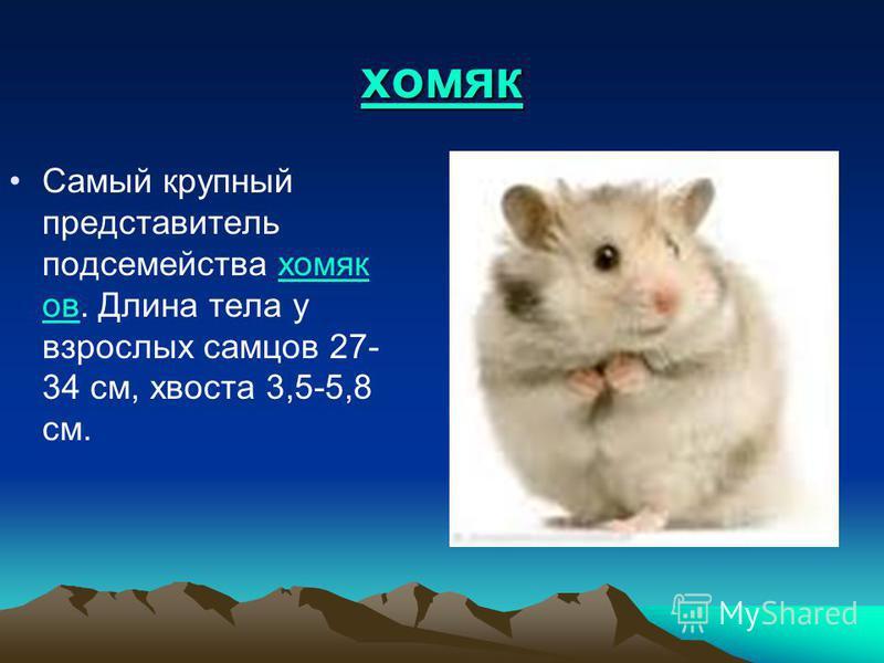 хомяк Самый крупный представитель подсемейства хомяк ов. Длина тела у взрослых самцов 27- 34 см, хвоста 3,5-5,8 см.хомяк ов