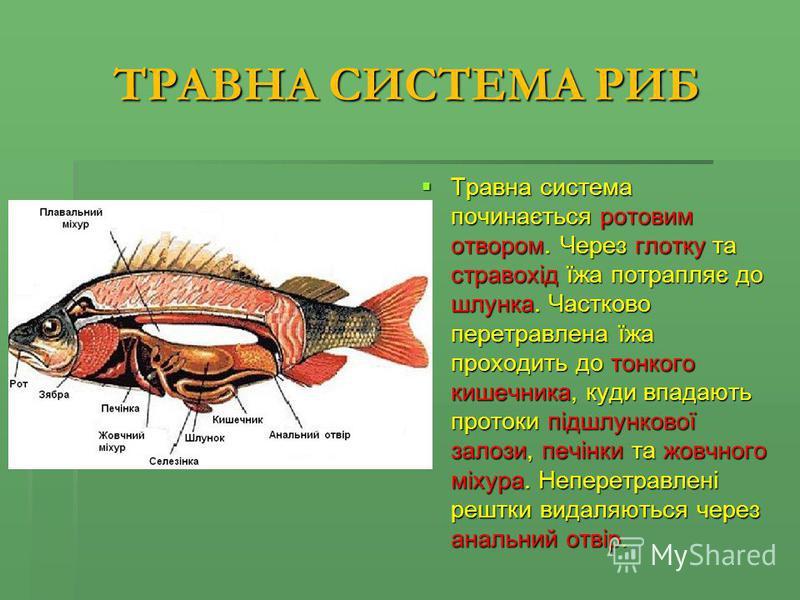 ТРАВНА СИСТЕМА РИБ Травна система починається ротовим отвором. Через глотку та стравохід їжа потрапляє до шлунка. Частково перетравлена їжа проходить до тонкого кишечника, куди впадають протоки підшлункової залози, печінки та жовчного міхура. Неперет