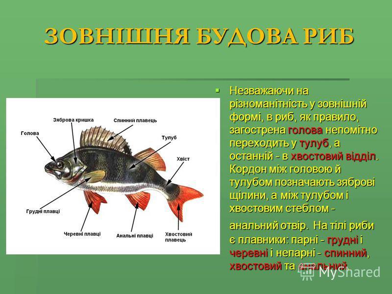 ЗОВНІШНЯ БУДОВА РИБ Незважаючи на різноманітність у зовнішній формі, в риб, як правило, загострена голова непомітно переходить у тулуб, а останній - в хвостовий відділ. Кордон між головою й тулубом позначають зяброві щілини, а між тулубом і хвостовим