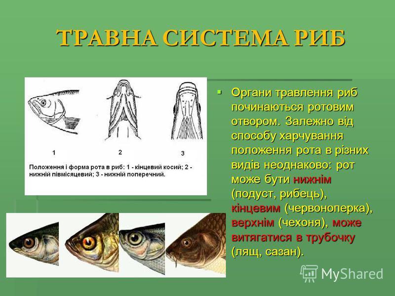 ТРАВНА СИСТЕМА РИБ Органи травлення риб починаються ротовим отвором. Залежно від способу харчування положення рота в різних видів неоднаково: рот може бути нижнім (подуст, рибець), кінцевим (червоноперка), верхнім (чехоня), може витягатися в трубочку