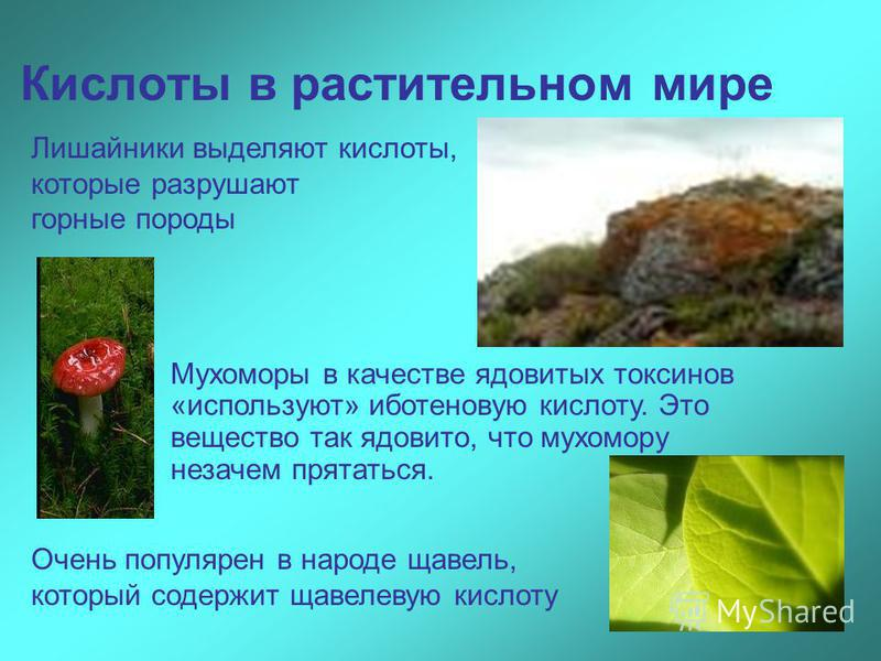 Кислоты в растительном мире Мухоморы в качестве ядовитых токсинов «используют» иботеновую кислоту. Это вещество так ядовито, что мухомору незачем прятаться. Очень популярен в народе щавель, который содержит щавелевую кислоту Лишайники выделяют кислот