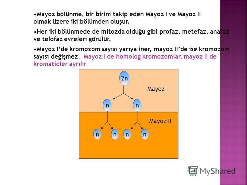 GİRİŞ Eşeyli üreyen bitkilerde gametlerin (üreme hücrelerinin) oluşumunu sağlayan özel bir bölünme şeklidir. Mayoz bölünmenin amacı; kromozom sayısının yarıya inmesini sağlamaktır. Bu bölünme ile diploid (2n) hücrelerden haploid (n) hücreler meydana