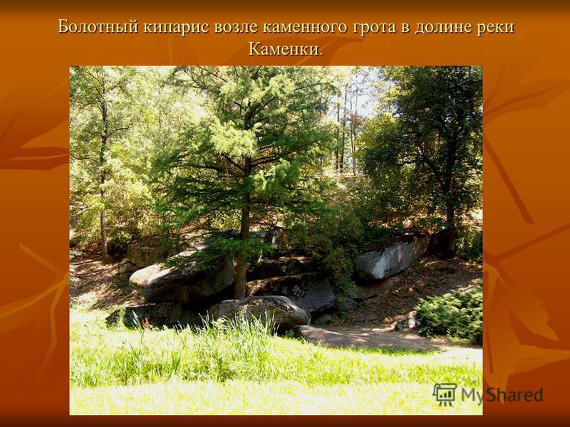 Болотный кипарис возле каменного грота в долине реки Каменки.