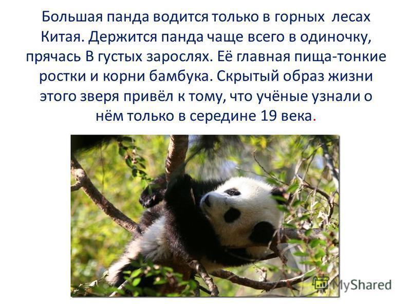 Большая панда водится только в горных лесах Китая. Держится панда чаще всего в одиночку, прячась В густых зарослях. Её главная пища-тонкие ростки и корни бамбука. Скрытый образ жизни этого зверя привёл к тому, что учёные узнали о нём только в середин