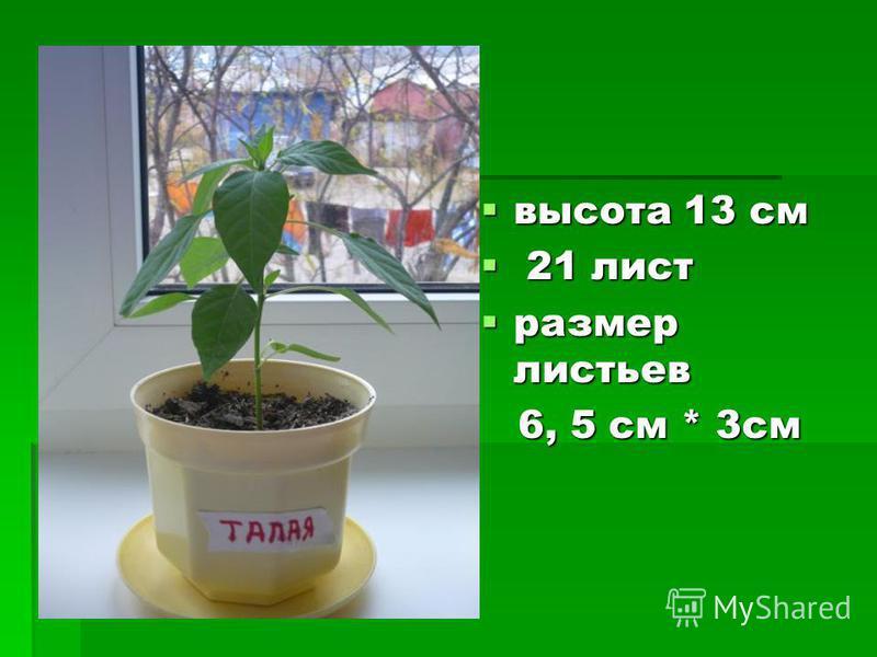высота 13 см высота 13 см 21 лист 21 лист размер листьев размер листьев 6, 5 см * 3 см