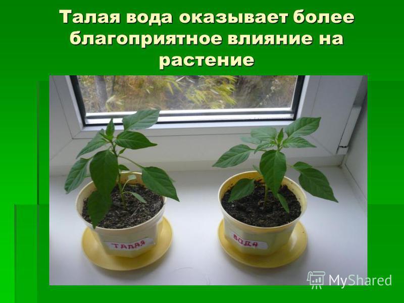Талая вода оказывает более благоприятное влияние на растение