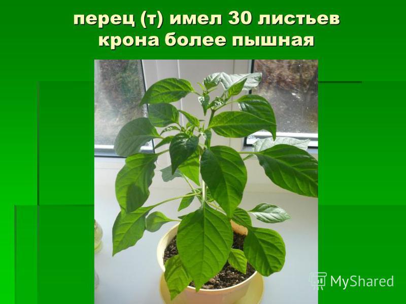перец (т) имел 30 листьев крона более пышная