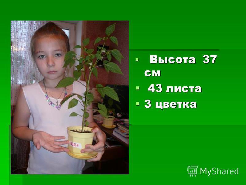 Высота 37 см Высота 37 см 43 листа 43 листа 3 цветка 3 цветка