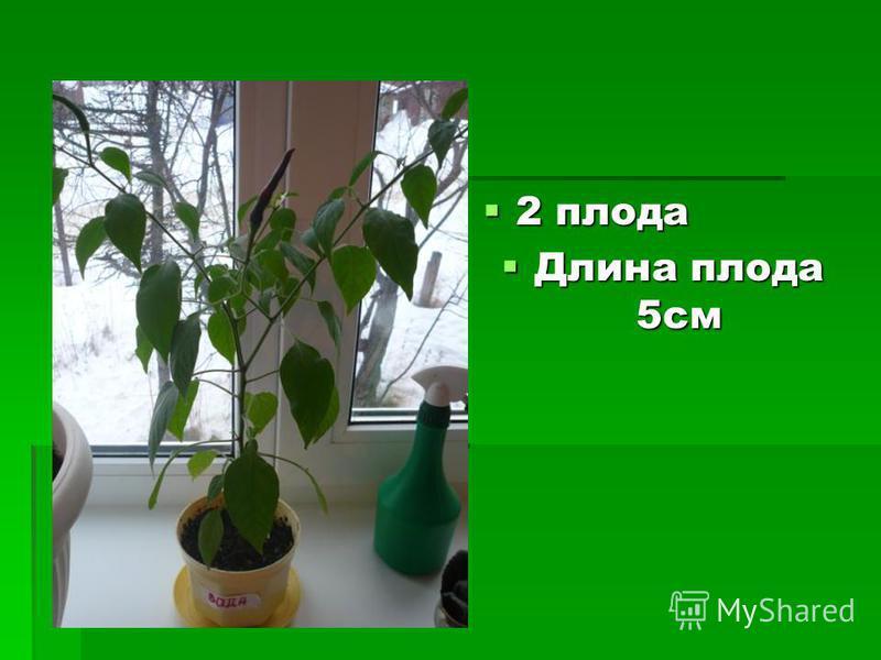 2 плода 2 плода Длина плода 5 см Длина плода 5 см