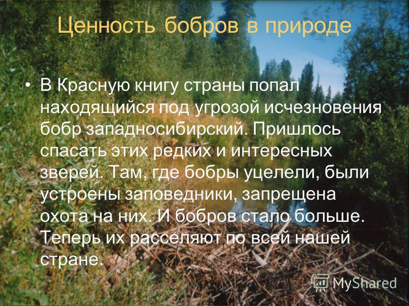 Ценность бобров в природе В Красную книгу страны попал находящийся под угрозой исчезновения бобр западносибирский. Пришлось спасать этих редких и интересных зверей. Там, где бобры уцелели, были устроены заповедники, запрещена охота на них. И бобров с