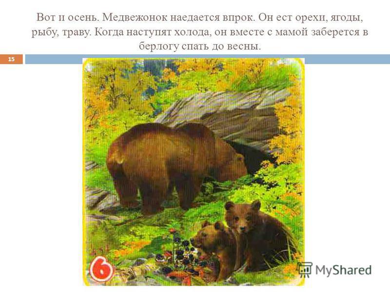 Вот и осень. Медвежонок наедается впрок. Он ест орехи, ягоды, рыбу, траву. Когда наступят холода, он вместе с мамой заберется в берлогу спать до весны. 15