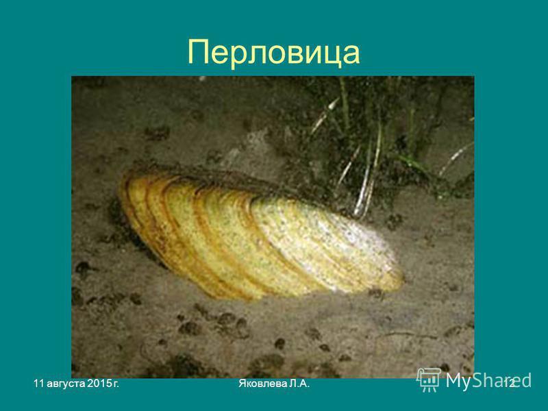 11 августа 2015 г.Яковлева Л.А.12 Перловица