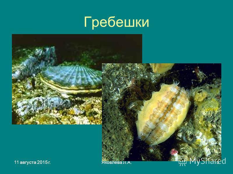11 августа 2015 г.Яковлева Л.А.15 Гребешки