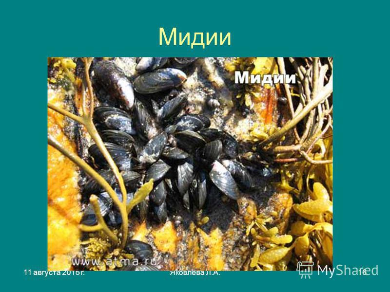 11 августа 2015 г.Яковлева Л.А.16 Мидии