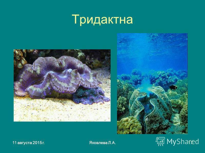 11 августа 2015 г.Яковлева Л.А.17 Тридактна