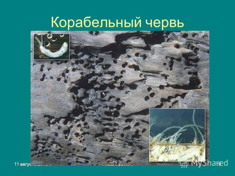 11 августа 2015 г.Яковлева Л.А.19 Корабельный червь
