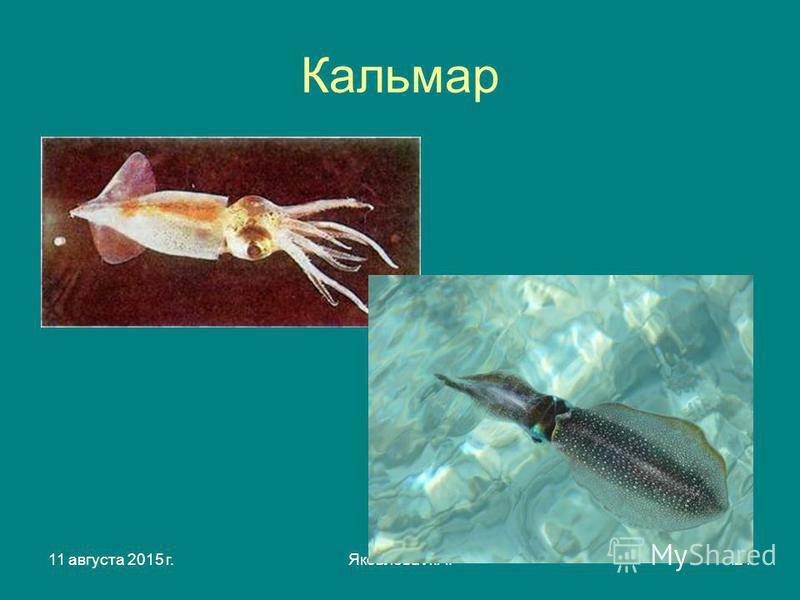 11 августа 2015 г.Яковлева Л.А.21 Кальмар