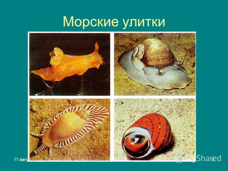 11 августа 2015 г.Яковлева Л.А.5 Морские улитки