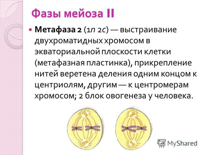 Фазы мейоза II Метафаза 2 (1n 2c) выстраивание двухроматидных хромосом в экваториальной плоскости клетки ( метафазная пластинка ), прикрепление нитей веретена деления одним концом к центриолям, другим к центромерам хромосом ; 2 блок овогенеза у челов