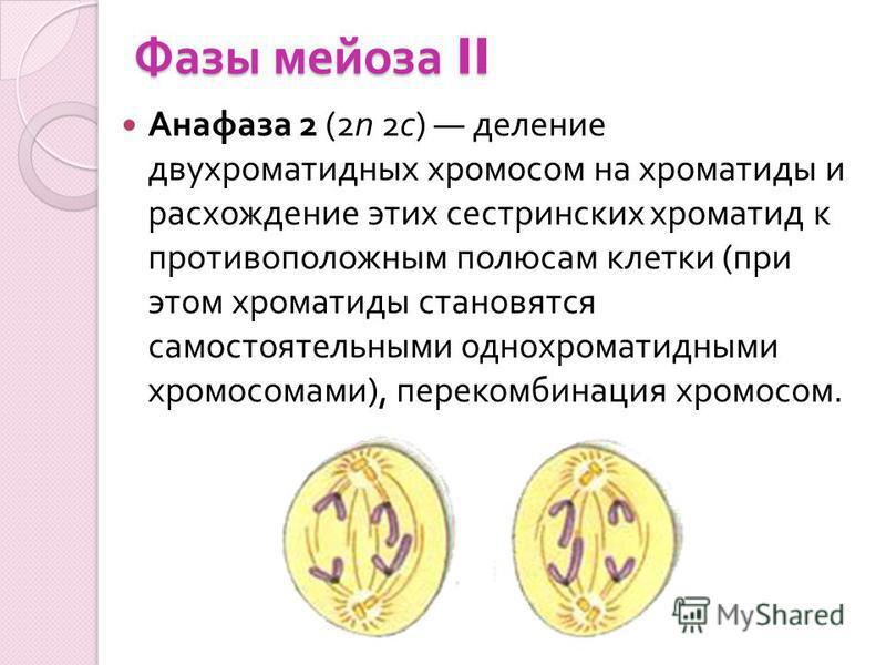 Фазы мейоза II Анафаза 2 (2n 2 с ) деление двухроматидных хромосом на хроматиды и расхождение этих сестринских хроматид к противоположным полюсам клетки ( при этом хроматиды становятся самостоятельными однохроматидными хромосомами ), перекомбинация х